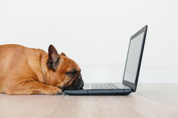 Leuke bruine franse aan laptop werken thuis en buldog die vermoeid voelen. huisdieren binnenshuis, levensstijl en technologie concept