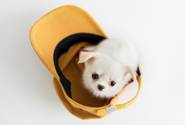 Leuke chihuahua-puppy
