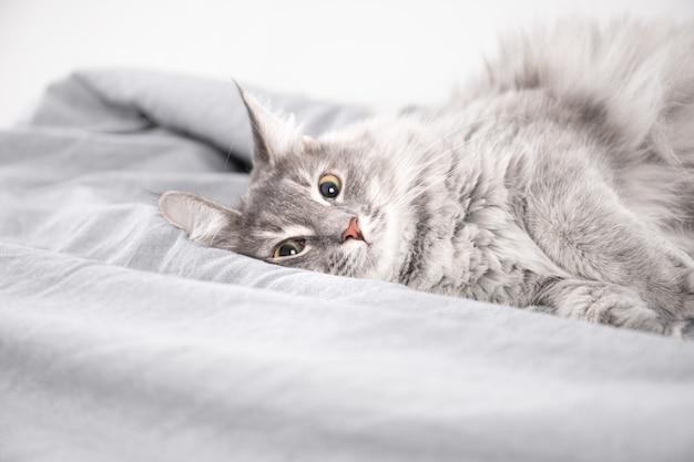 Leuke donzige pussycat liggend op een bed met grijs beddengoed. de schattige kat sliep op een bed bedekt met zachte stoffen.