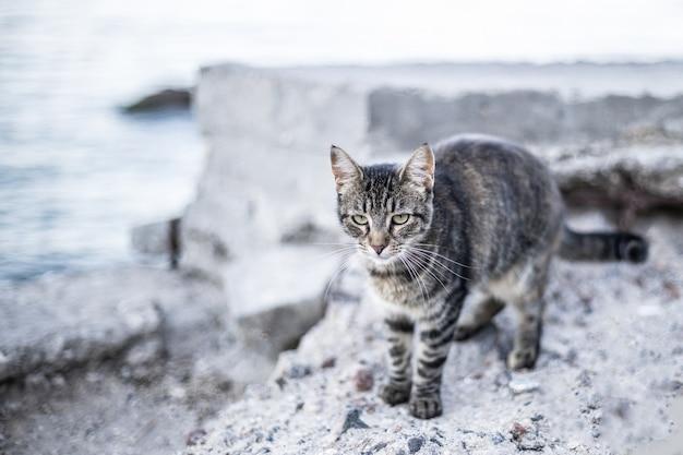 Leuke droevige grijze cyperse kat loopt en geniet van de zee