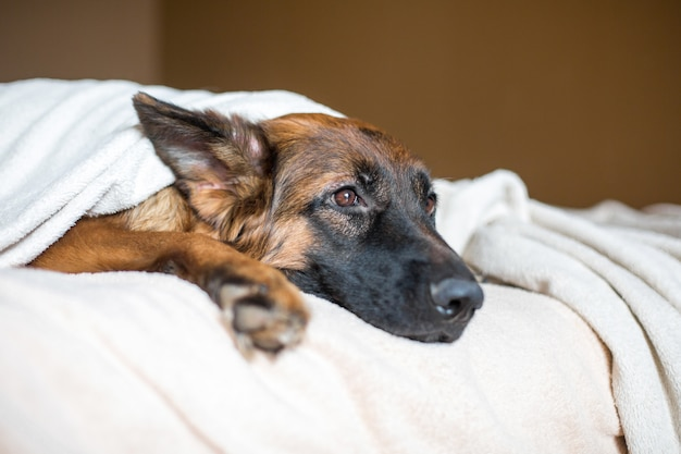 Leuke duitse herder in een deken op bed. heerlijke hond in huis.