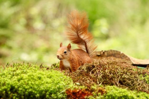 Leuke eekhoorn die voedsel in een bos zoekt