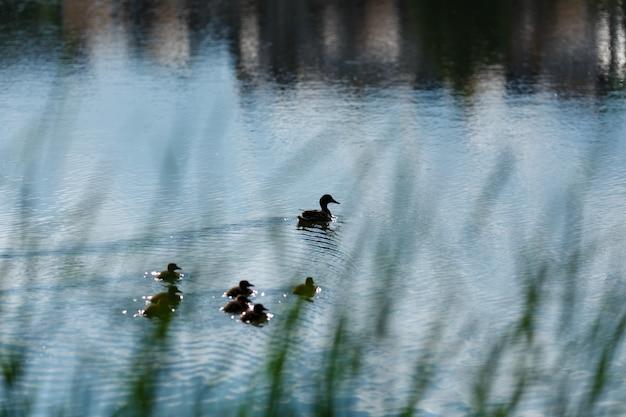 Leuke eendjes (eendbabys) die moeder in een rij, meer, symbolisch figuratief harmonisch vreedzaam dierlijk familieportret volgen