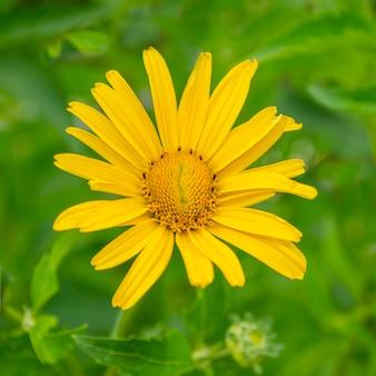 Leuke en mooie gele kleur bloemen sierplanten en vol met groene bladeren in een tuin