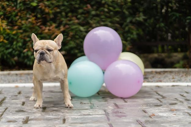 Leuke franse bulldog met ballonnen