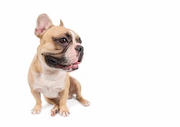 Leuke franse bulldog-vergadering