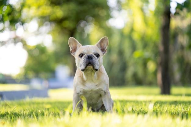Leuke franse bulldog zittend op het veld in de ochtend