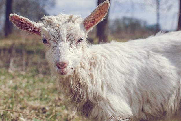 Leuke geitbaby, witte geitbaby op hoofd en nek, geit in het veld.