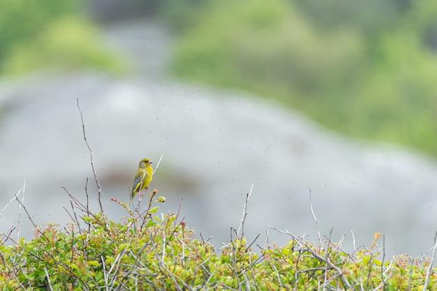 Leuke gele amerikaanse distelvink die op een tak wordt neergestreken