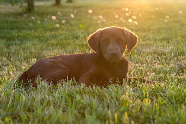 Leuke gelukkige jonge bruine puppyhond die op het gras legt, verlicht door geïsoleerde zon