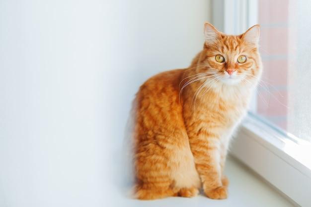 Leuke gemberkat die op vensterbank situeren en op iets wachten.