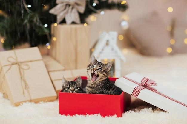 Leuke gestreepte katkatjes die in rode kerstmisdoos zitten.
