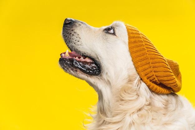 Leuke golden retriever-hond die een bruine hoed draagt die op geel wordt geïsoleerd