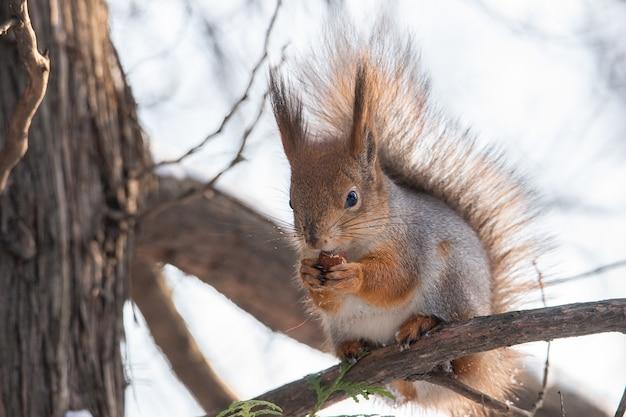 Leuke grappige borstelige staart euraziatische rode eekhoorn zittend op een boomtak in de wintersneeuw