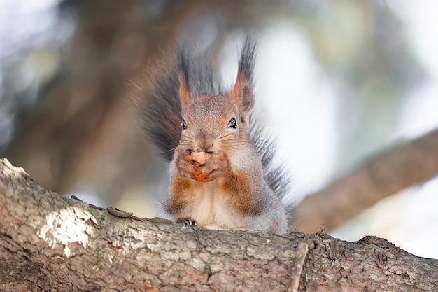 Leuke grappige dichtbegroeide euraziatische rode eekhoorn