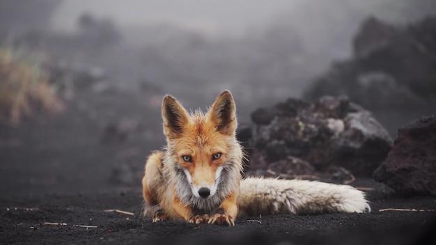 Leuke grappige vos kijkt naar de camera gaat liggen en rekt vos uit in het wilde kamchatka, rusland