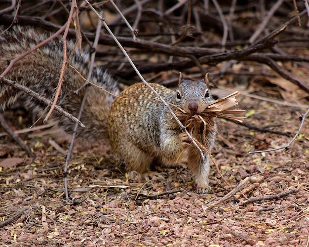 Leuke grijze eekhoorn die overdag hout in een bos oppakt