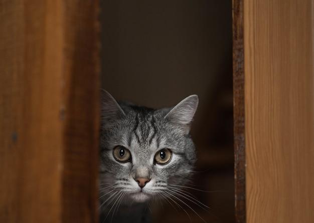 Leuke grijze kat die door de open deur piept.