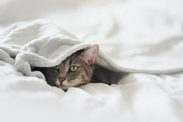 Leuke grijze kat liggend op het bed onder de deken thuis. grappige grijze kat verstopt zich onder een witte deken. de kat jaagt van onder de dekens. ruimte kopiëren