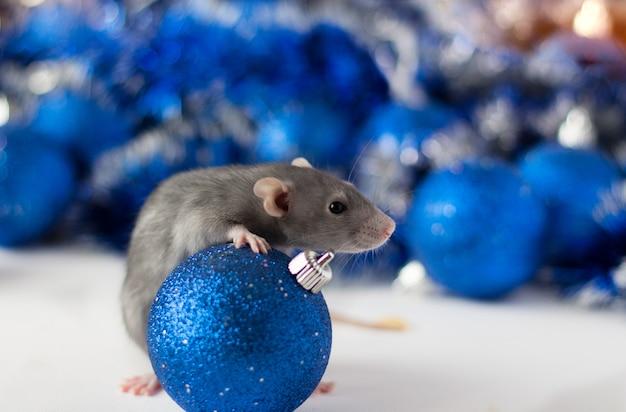Leuke grijze kleine rat die in frame en omhelzingen blauwe kerstmisbal kijkt met mooi blauw en zilveren onduidelijk beeld