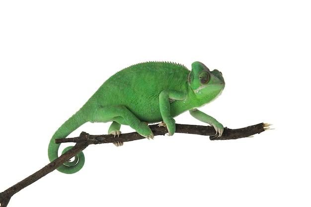 Leuke groene kameleon op tak tegen witte achtergrond