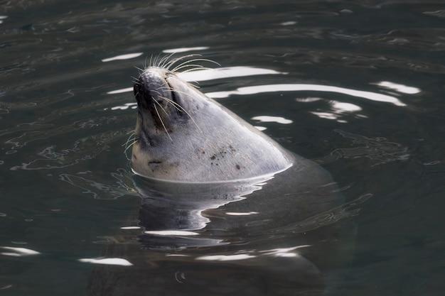 Leuke grote zeehond die geniet van en zwemt in het water in de dierentuin