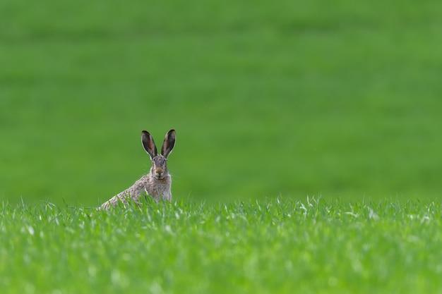 Leuke haaszitting in de lentegras. wildlife scène uit de natuur. dier op de weide