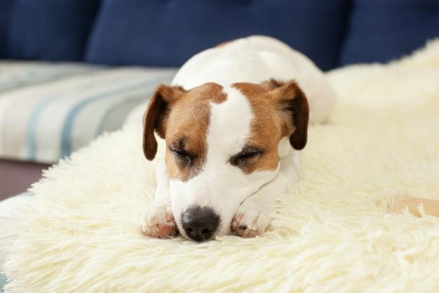 Leuke hefboom russell hond die op bed in zonnige dag op deken rusten. huisdieren verzorgen. de portrethond vermoeide slaap op laag. zich moe of verveeld voelen. huisdieren thuis. ochtend. dierenzitting op bank met droevig gezicht. depressie