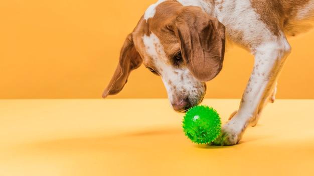 Leuke hond die een kleine rubberbal ruikt
