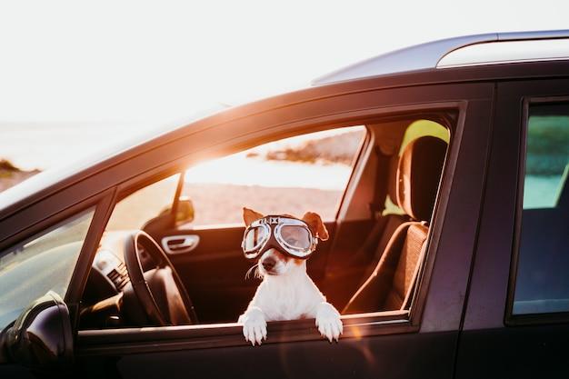 Leuke hond die in een auto reist die uitstekende beschermende brillen draagt bij zonsondergang