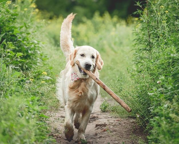 Leuke hond die met stok loopt