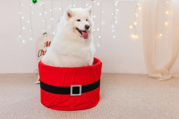 Leuke hond in een rode geschenkdoos voor kerstmis. witte samojeed hond christmas puppy gift box present surprise