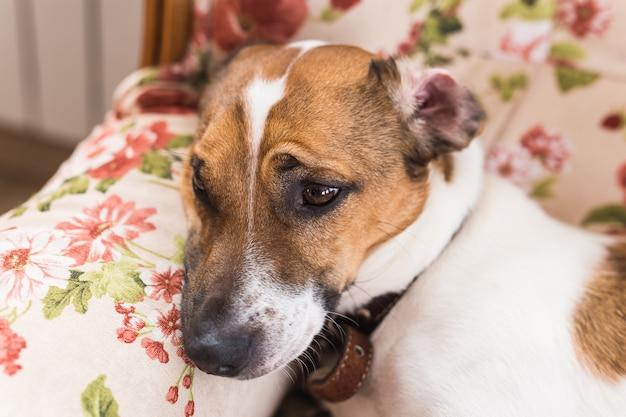 Leuke hond jack russell terrier binnenshuis