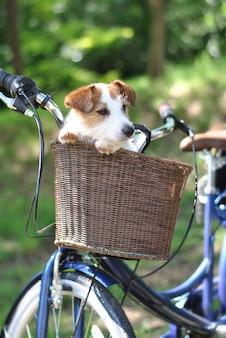 Leuke hond jack russell zitting in een fiets mand op de zomer dagen.