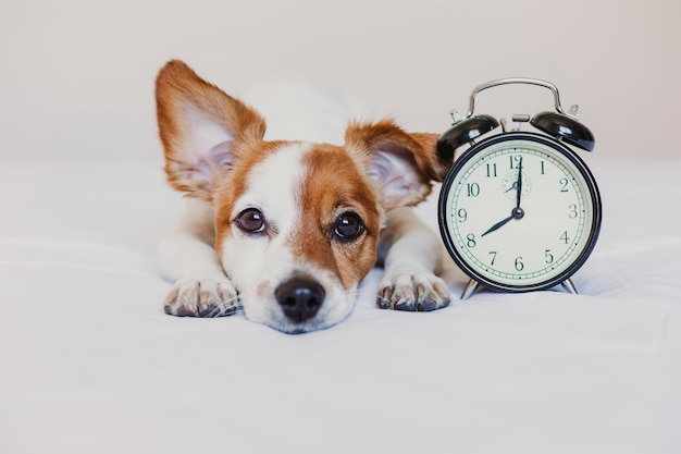 Leuke hond liggend op bed met een wekker ingesteld op 8 uur. ochtend en wakker concept thuis.