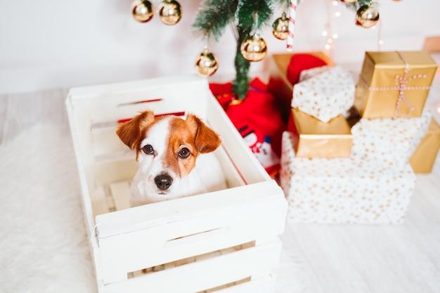 Leuke hond van jack russell in een doos thuis bij de kerstboom premium photo