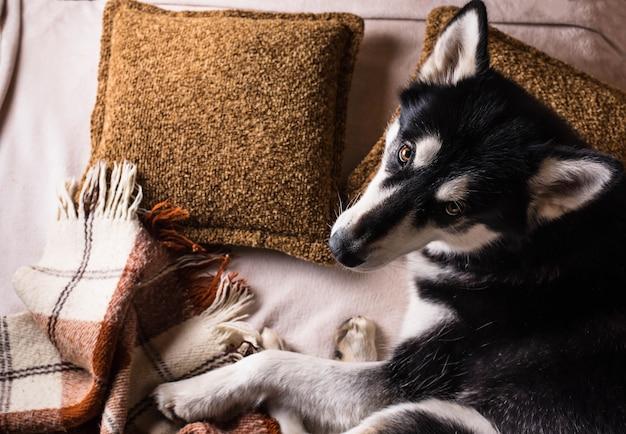 Leuke hondslaap op een bed onder een plaid