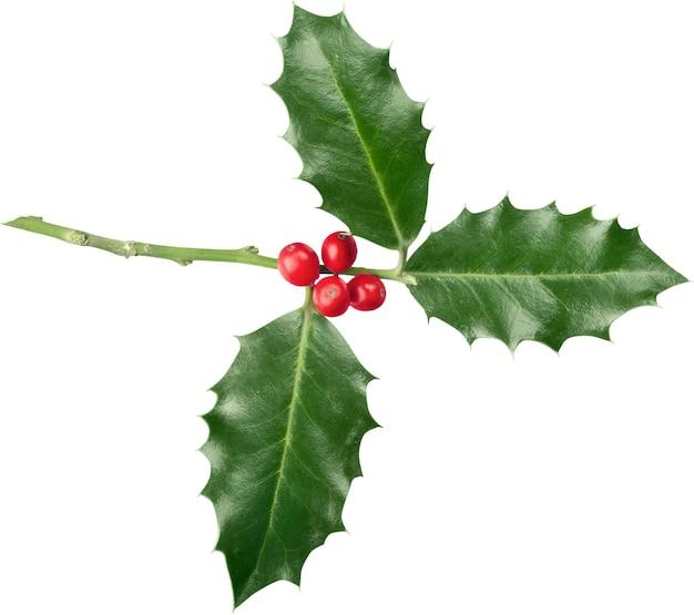 Leuke hulstbladeren en bessen, kerstmisdecoratie die op witte achtergrond wordt geïsoleerd