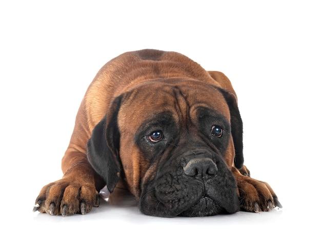 Leuke italiaanse mastiffhond