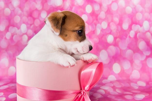 Leuke jack russel terrier puppy in een roze geschenkdoos