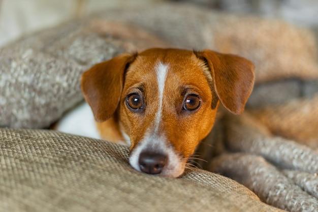 Leuke jack russell-hond die of onder een deken rusten slapen.