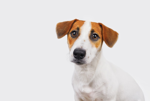 Leuke jack russell-hond die op wit wordt geïsoleerd