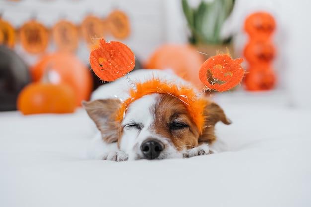 Leuke jack russell hond thuis. halloween-decoratie als achtergrond in de slaapkamer