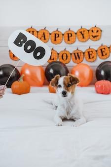 Leuke jack russell hond thuis. halloween-decoratie in slaapkamer met ballons, slinger en pompoenen