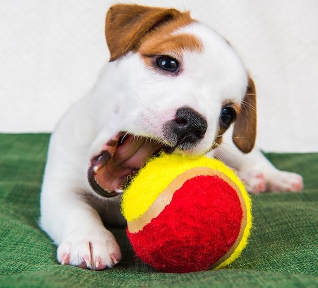 Leuke jack russell terrier hond puppy met tennisbal