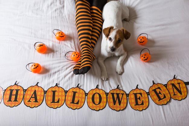 Leuke jonge kleine hond die op bed naast de benen van zijn eigenaars ligt die zwarte en oranje sokken draagt. halloween concept. uitzicht van boven