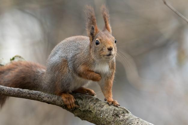 Leuke jonge rode eekhoornzitting op boomtak die geïnteresseerd en nieuwsgierig kijken