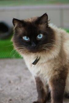 Leuke kat met blauwe ogen