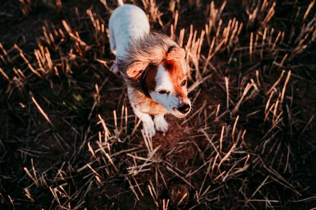Leuke kleine de terriërhond van hefboomrussell op een geel gebied bij zonsondergang. het dragen van een grappig leeuwenkoning kostuum op het hoofd. huisdieren buiten en humor