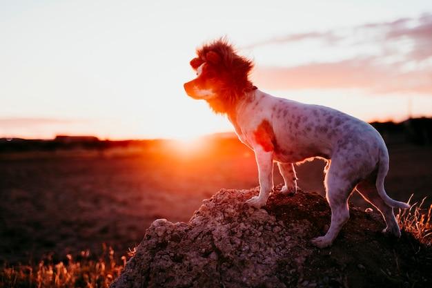 Leuke kleine de terriërhond van hefboomrussell op een rots bij zonsondergang. het dragen van een grappig leeuwenkoning kostuum op het hoofd. huisdieren buiten en humor